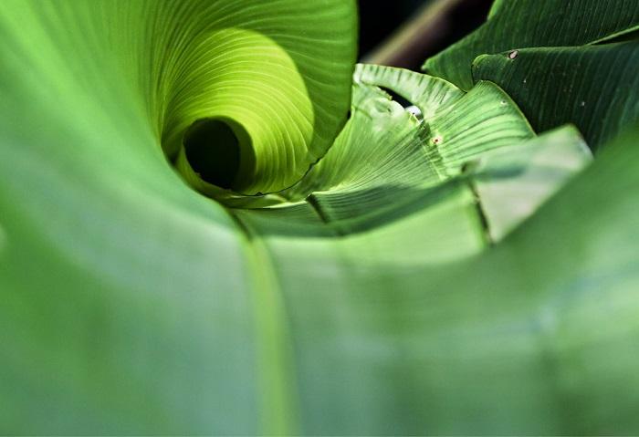 Một hình ảnh cận cảnh của một cuộn tròn trong một chiếc lá