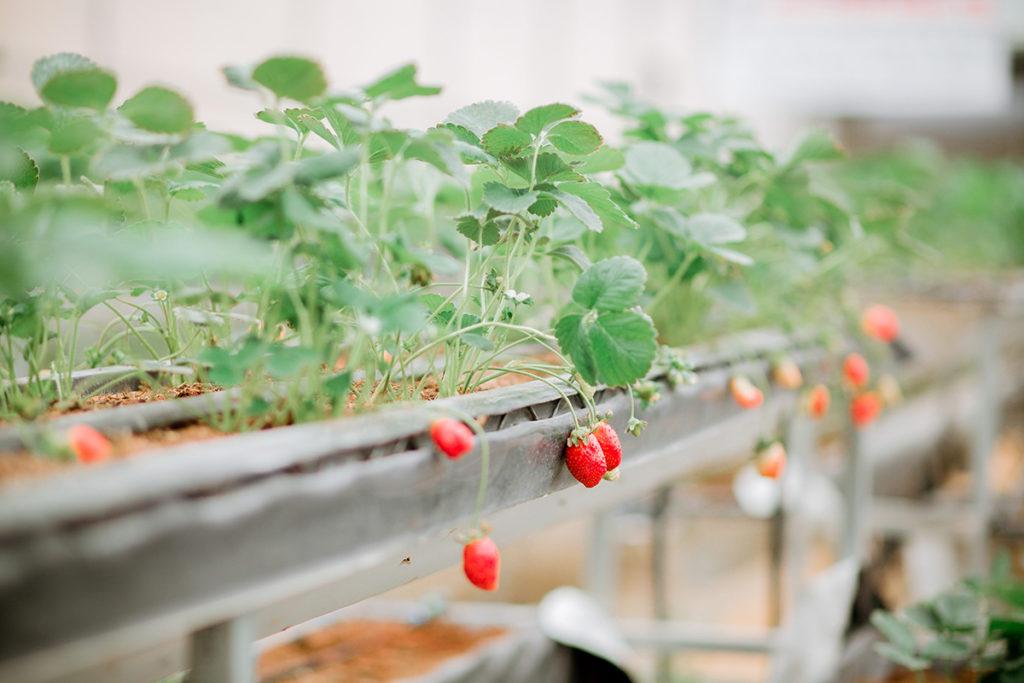 Dâu tây Đà Lạt trồng tại Làng Hoa Vạn Thành